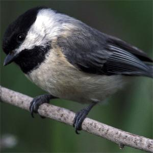 Penching Birds